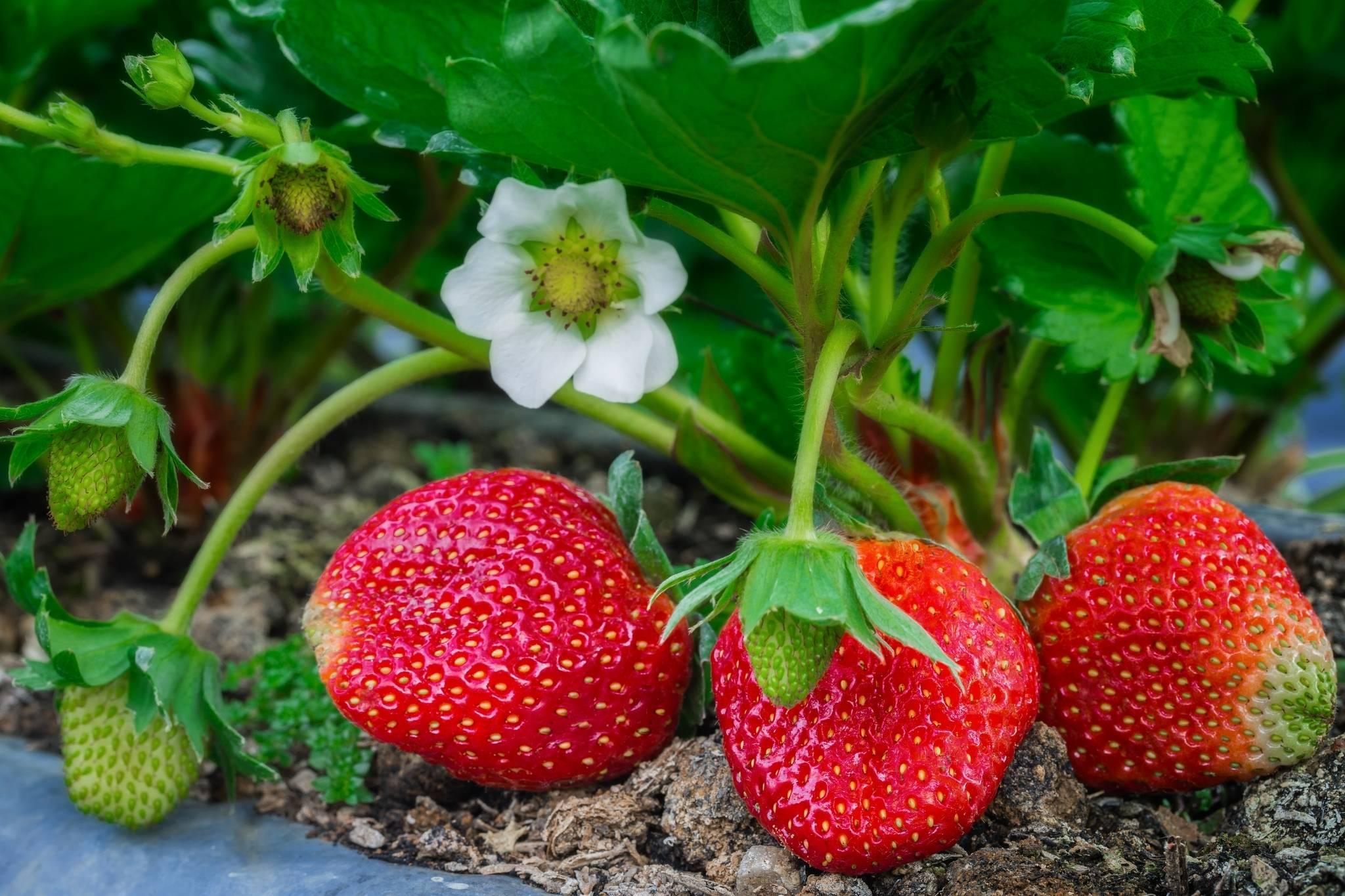 8 способов применения горчичного порошка в огороде