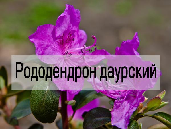 Посадка и уход за рододендроном в ленинградской области