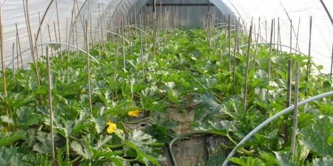Хитрости, как ускорить рост и созревание ранних кабачков