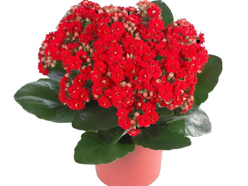 Каланхоэ каландива — цветочный букет на подоконнике