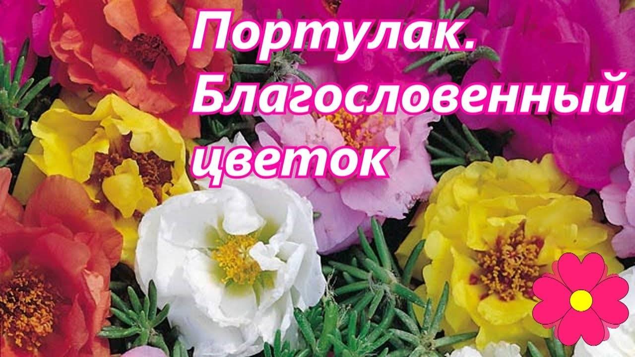 Портулак — посадка семян и уход за цветущим ковром в открытом грунте и на подоконнике