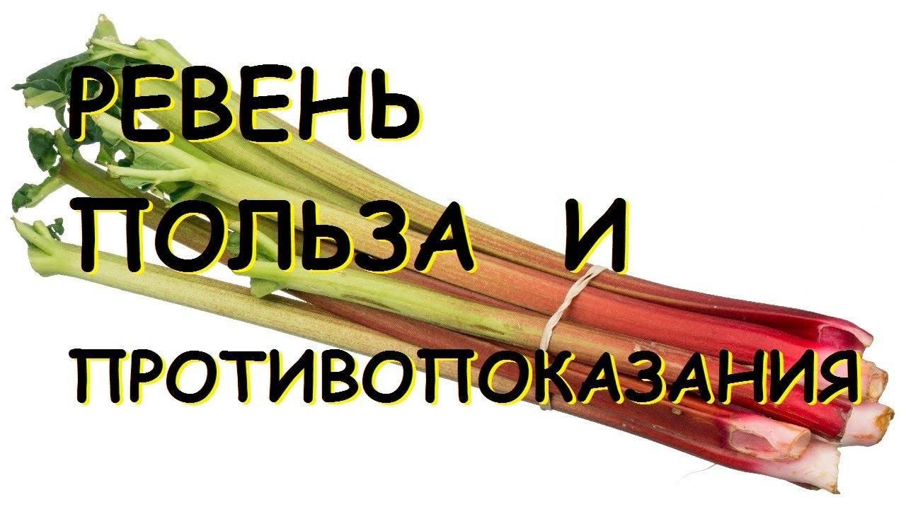 Ревень: полезные свойства, противопоказания и рецепты приготовления