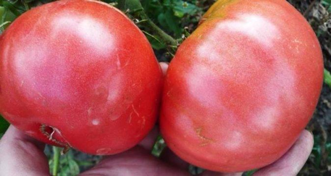 Описание и характеристика томата сорта сахарный бизон