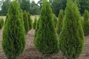 Можно растить тую зимой дома. как вырастить тую из семян в домашних условиях. размножение западной туи черенками и семенами