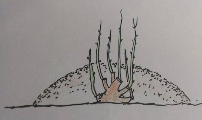 Сладкие сорта калины: все от посадки до ухода