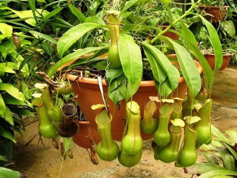 Непентес – хищное растение: описание, уход в домашних условиях