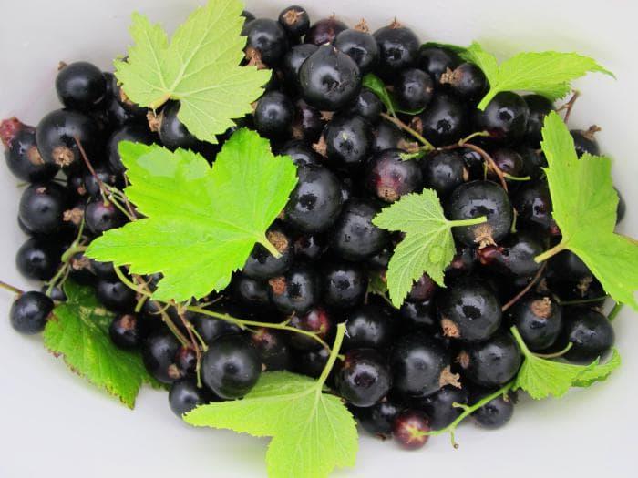 Чем подкормить смородину осенью после сбора урожая: органические или минеральные удобрения