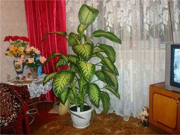 Диффенбахия, уход в домашних условиях и видовое разнообразие растения