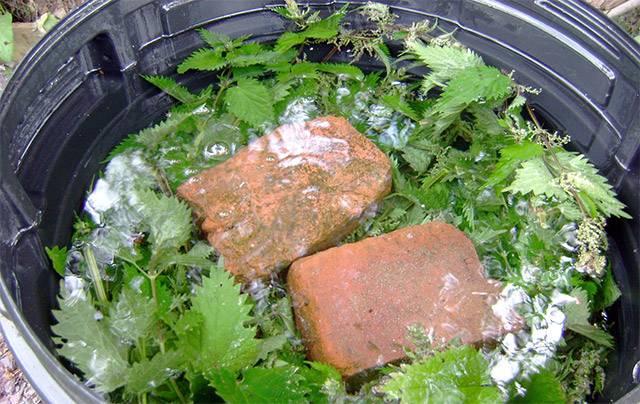 Метод от бабушки: как подкормить помидоры дрожжами в теплице
