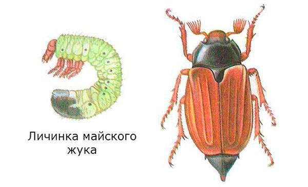 Личинки майского жука, как с ними бороться. как избавиться от личинок майского жука в саду и огороде навсегда