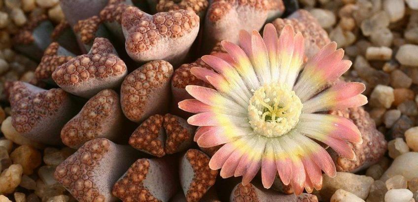 Особенности выращивания литопсов из семян в домашних условиях