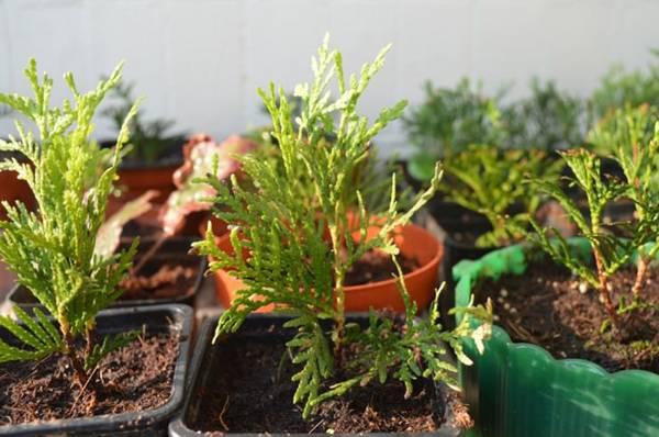Успешное размножение яблони зелеными черенками. секреты опытных садоводов