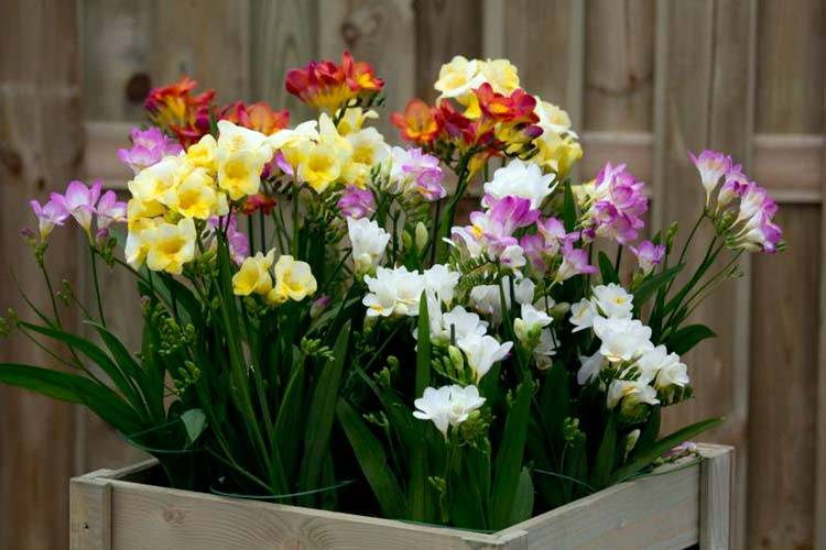 Выращивание фрезии в домашних условиях: советы, правила, рекомендации