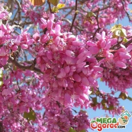 Иудино дерево: описание и условия выращивания