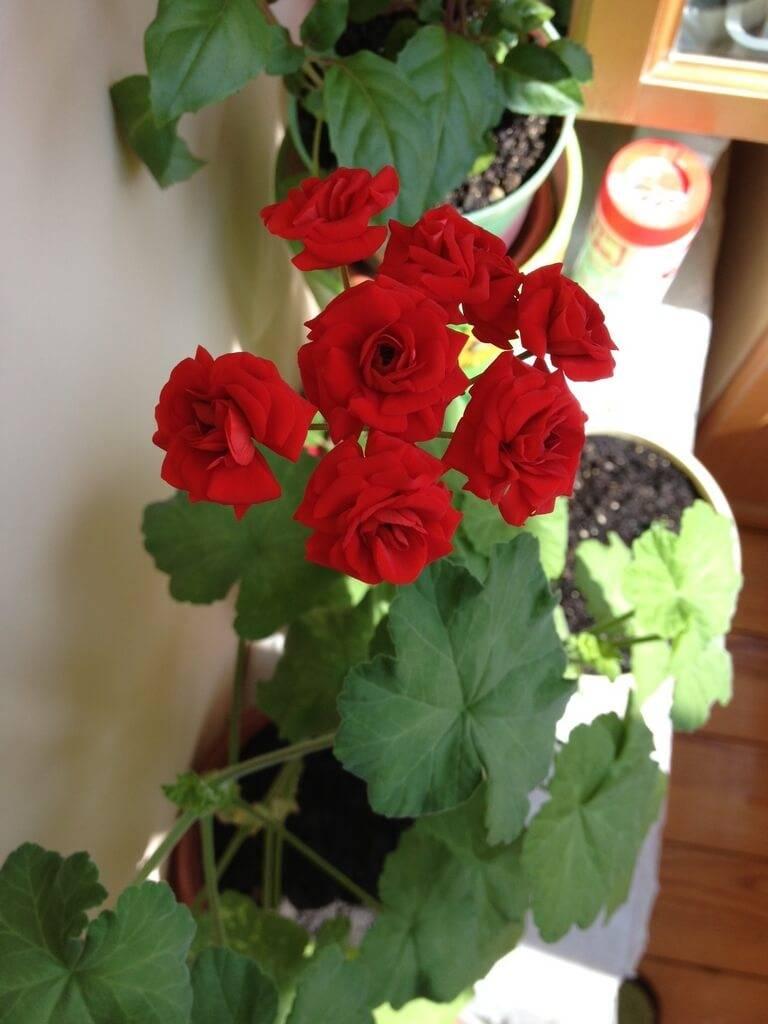 Розебудная герань – роскошная пеларгония