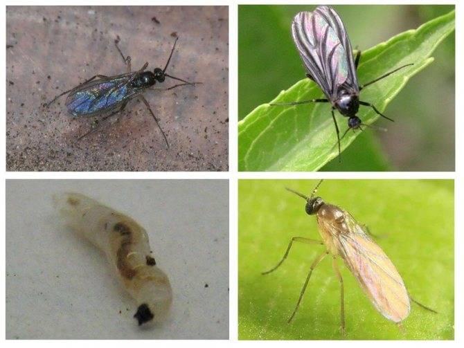 Как избавиться от мошек в земле в рассаде: лучшие способы