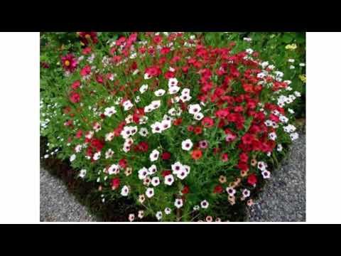 Особенности ибериса: фото, посадка и уход в саду