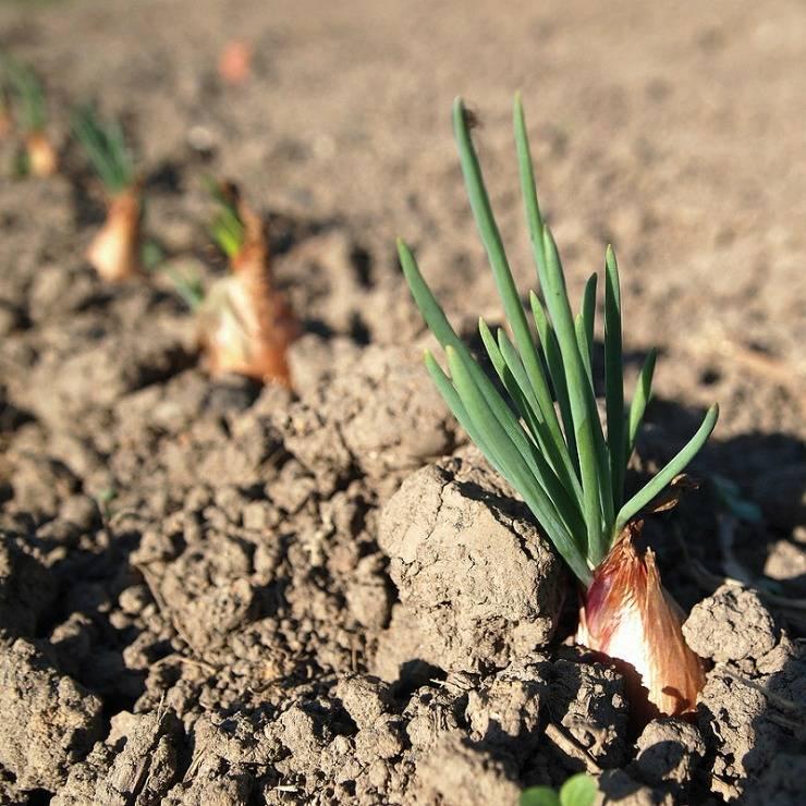 Лук-шалот в открытом грунте: выращивание, посадка и уход