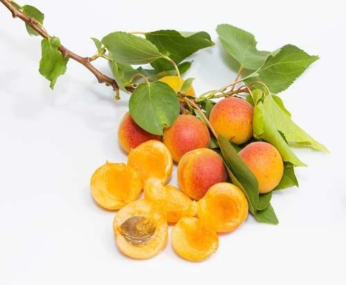 Выращивание абрикос на дачах подмосковья