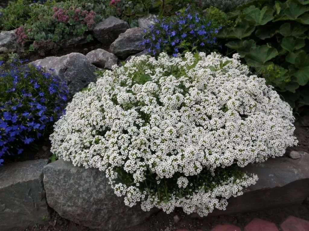 Алиссум: выращивание из семян, когда сажать