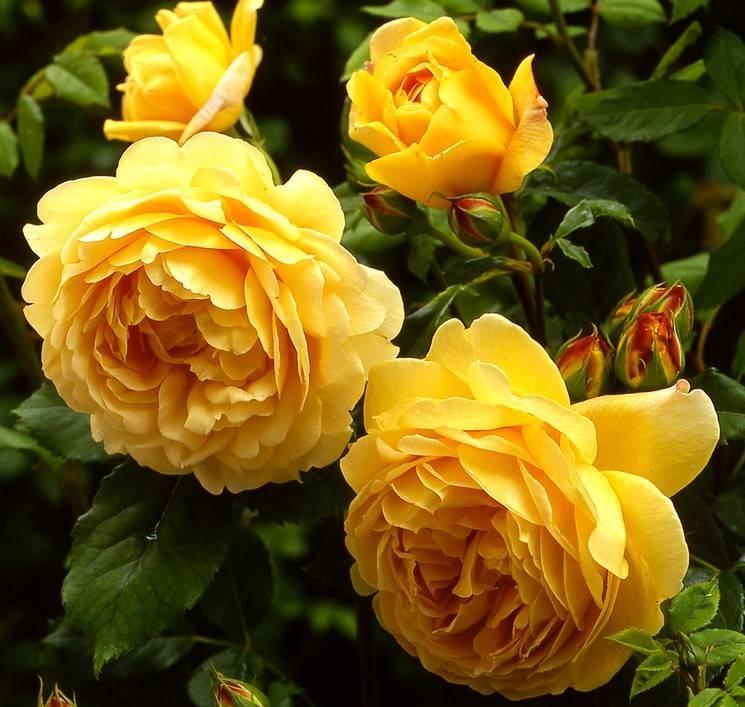 6 типов роз: описание и уход. какие розы посадить в саду?