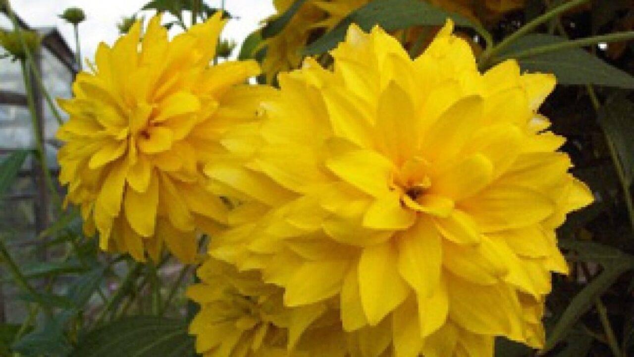 Кусочек солнышка на даче – очаровательные виды рудбекии