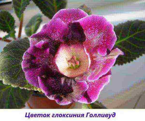 Глоксиния: уход в домашних условиях, размножение листами и пересадка