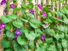 11 растений, которые замаскируют неприглядный забор и заметно преобразят участок