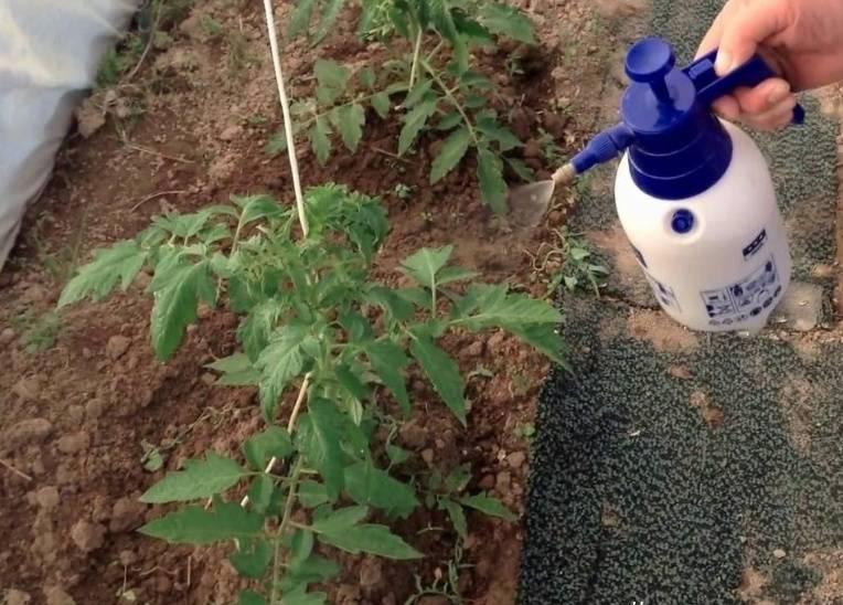 Дрожжевая подкормка для помидор. 7 рецептов подкормки помидор дрожжами.
