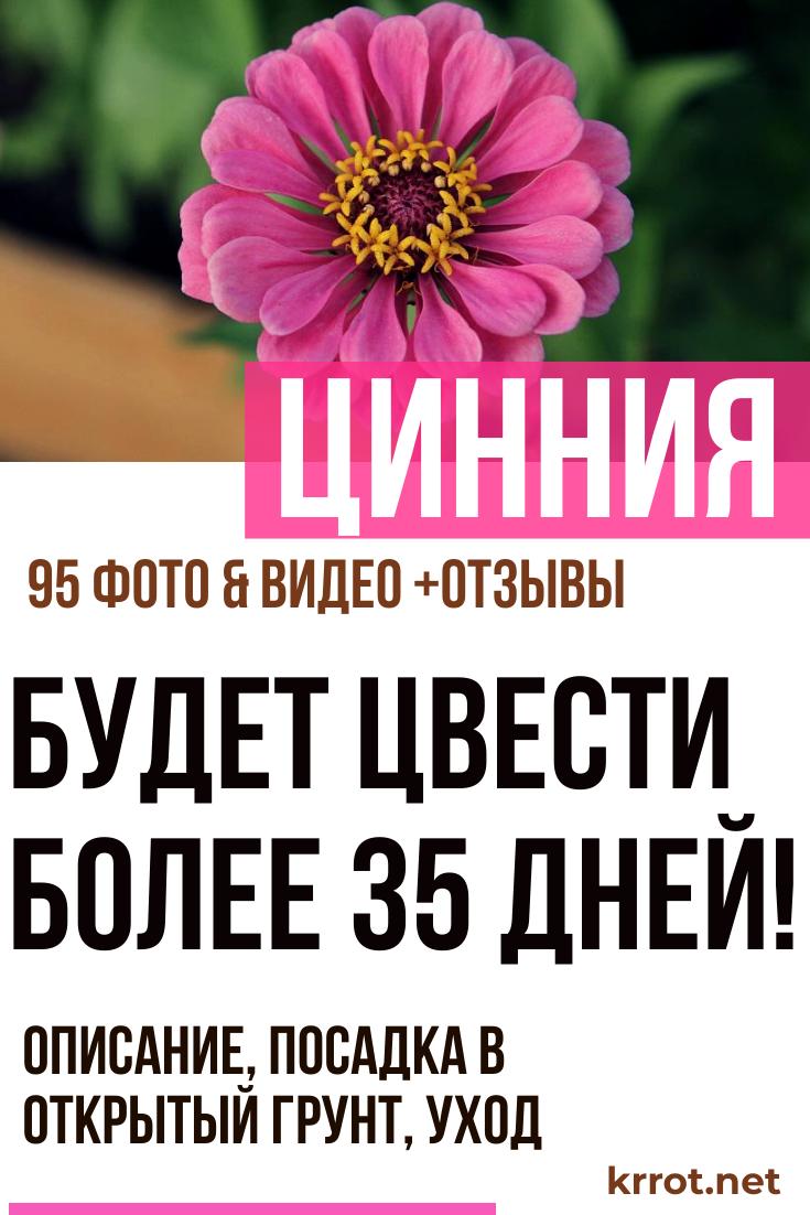 Однолетняя хризантема — выращивание из семян, девичья, платье невесты