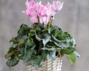 Растение цикламен: виды, посадка и уход в домашних условия, пересадка и размножение