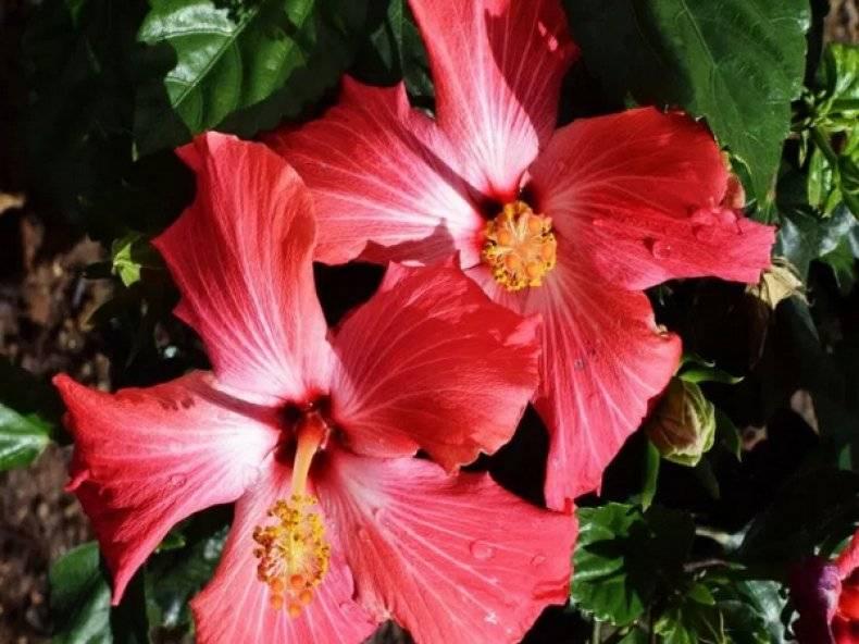 Цветок гибискус: полезные свойства и противопоказания