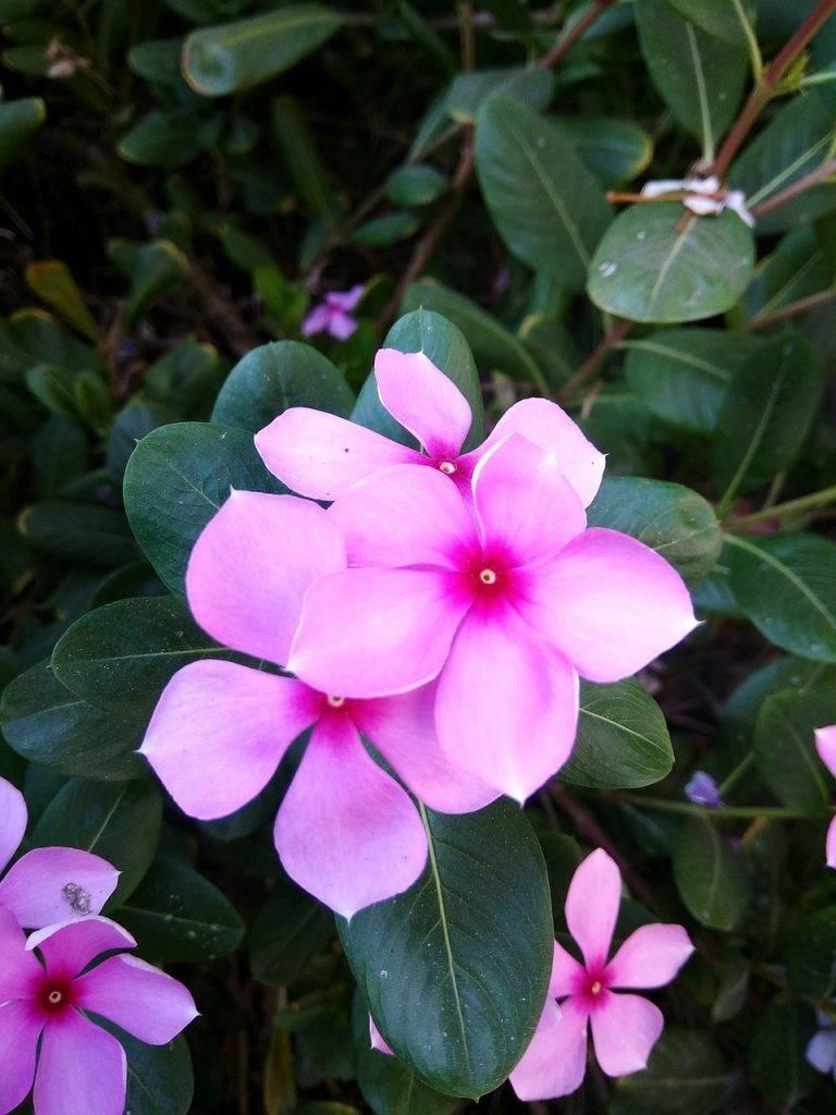 Цветок катарантус: уход и выращивание в домашних условиях
