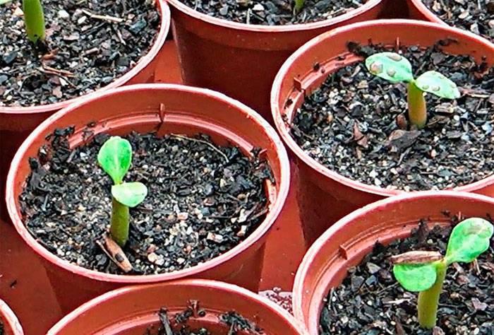 Подробнейшее руководство, как вырастить красивый и здоровый адениум из семян в домашних условиях