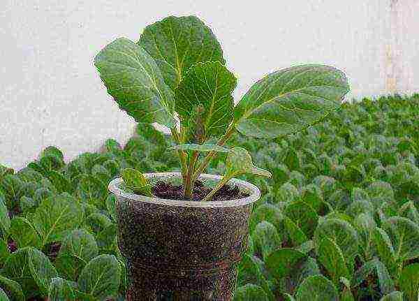 Все нюансы выращивания и ухода за савойской капустой в открытом грунте. описание сортов
