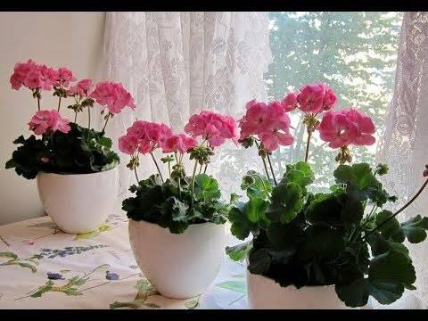 Фото королевской пеларгонии и уход за растением дома