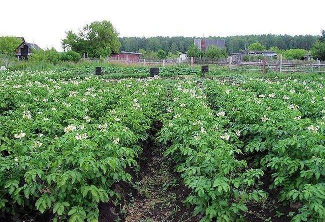Внекорневая подкормка картофеля: для чего нужна, нормы, особенности