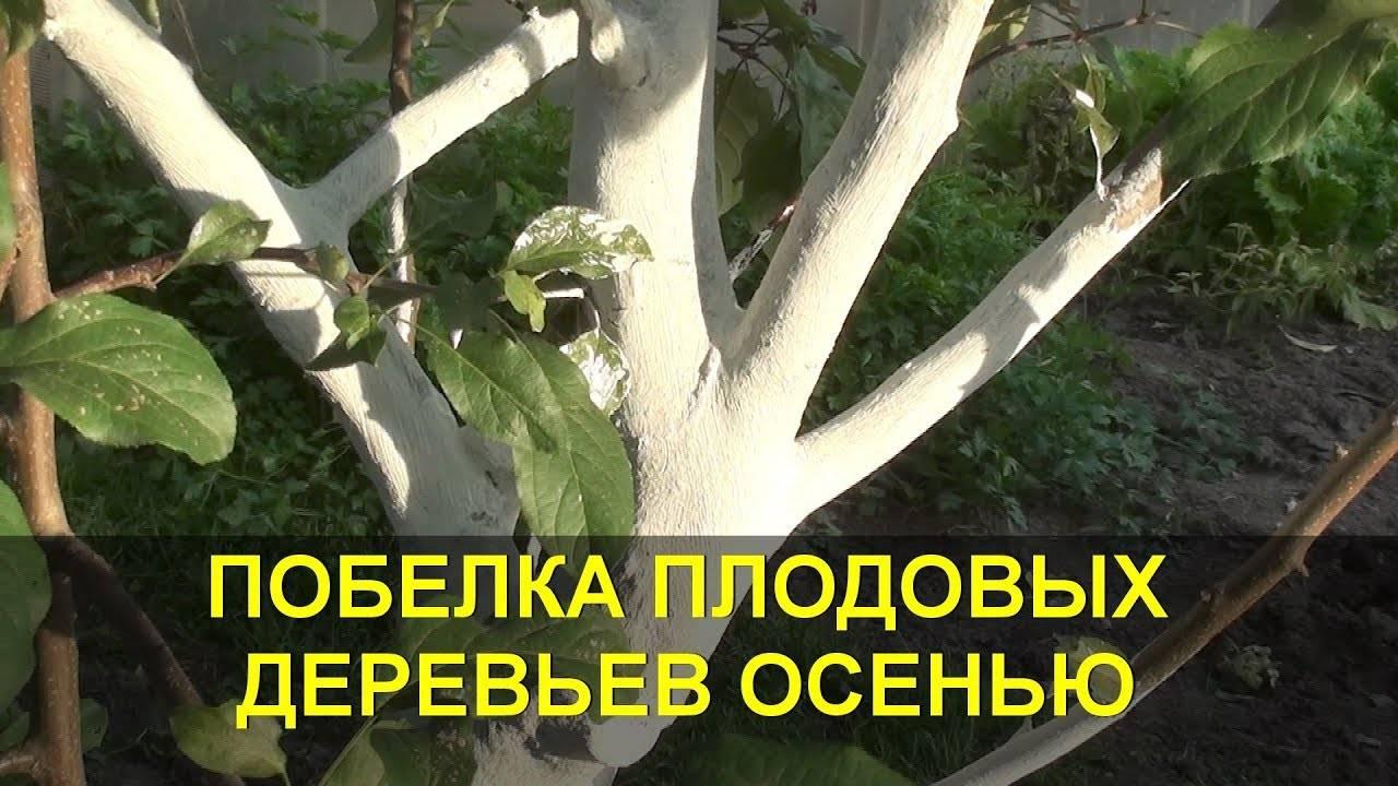 Побелка деревьев: зачем, когда и как правильно их белить?