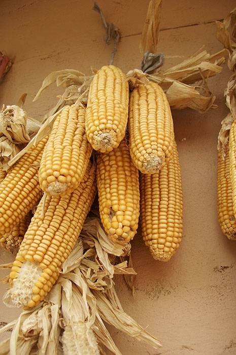 Как собирают кукурузу?
