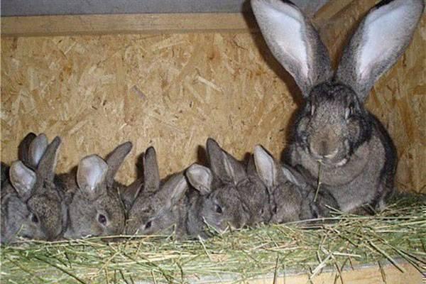 Шедовое содержание кроликов в домашнем хозяйстве