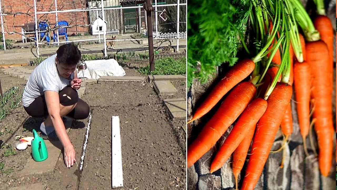Когда и как правильно сажать семена моркови в открытый грунт весной