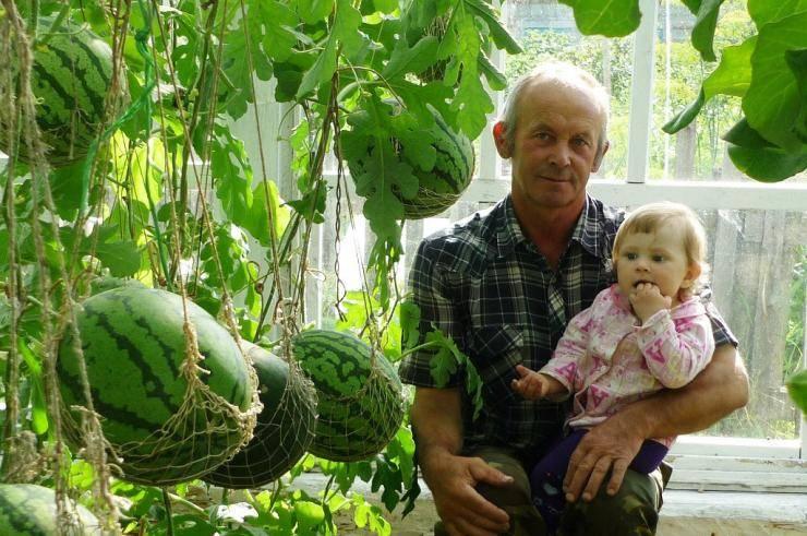 Выращивание арбузов в теплицах холодных регионов — это интересно