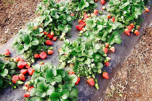 Земляника александрия: история выращивания, описание сорта и особенности ухода