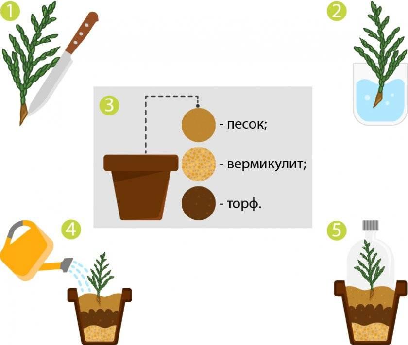 Как посадить семена туи осенью