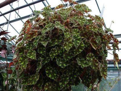 Комнатная бегония посадка и уход выращивание из семян размножение фото сортов