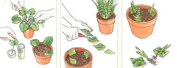 Как можно размножить сансевиерию