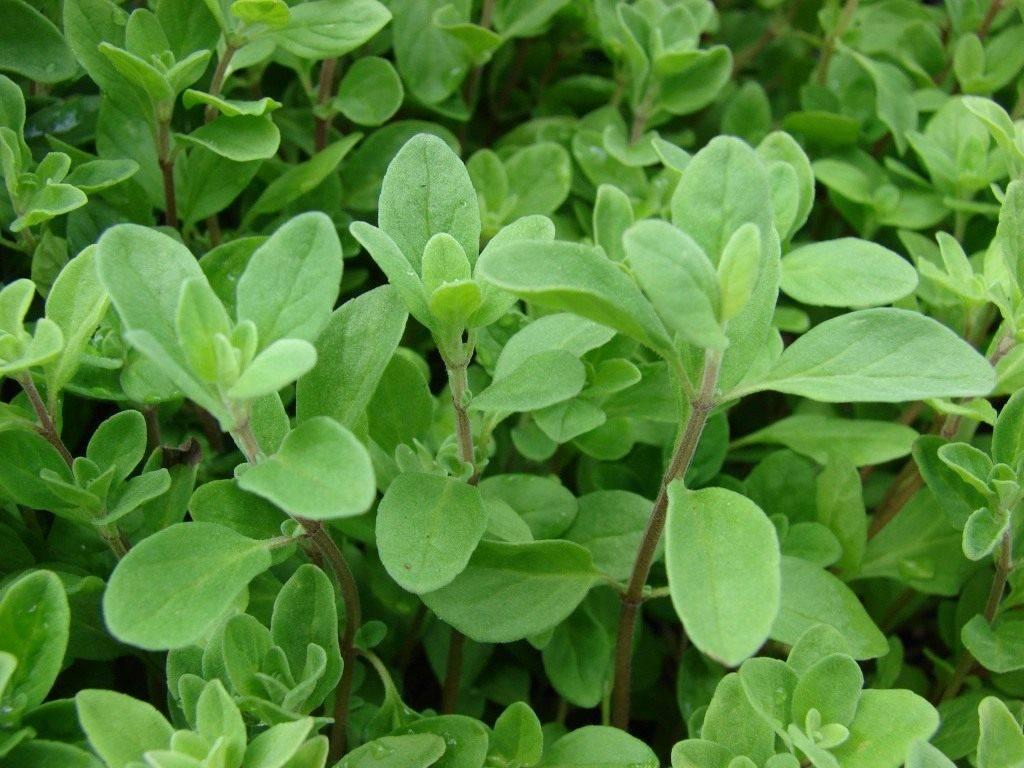Выращивание майорана из семян