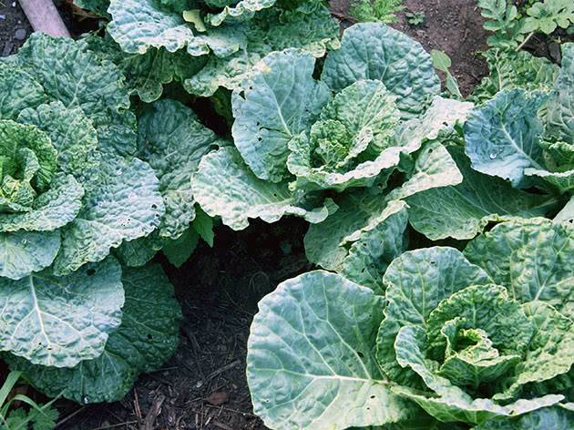 Савойская капуста фото выращивание