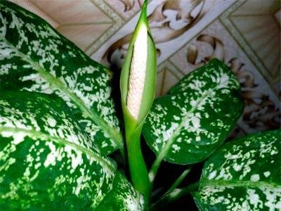 Комнатное растение диффенбахия