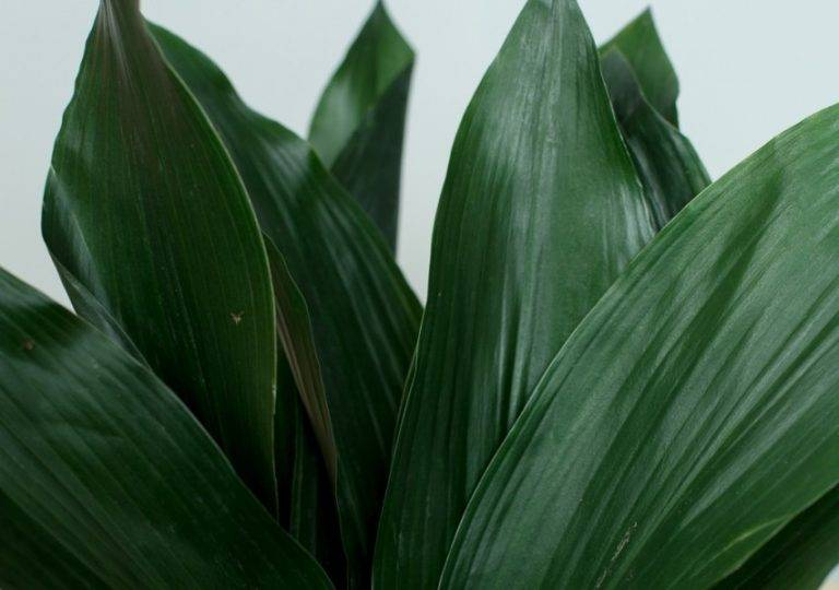 Цветок аспидистра: выращивание и уход в домашних условиях, чем удобрять, фото
